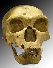 180px-Homo_sapiens_neanderthalensis